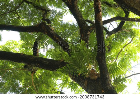 The tree branch is a woody structural member connected to but not part of the central trunk of a tree. Large branches are known as bough and small branches are known as twigs. Royalty-Free Stock Photo #2008731743