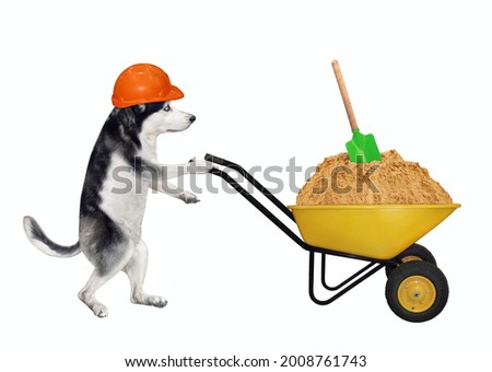 A dog husky builder in a construction helmet pushes a wheel barrow full of sand. White background. Isolated.