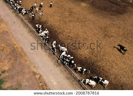 Top view of the farm with cows and pigs in the village. Production of milk and Animal husbandry concept. Cow Dairy, top view. Farm animals and Agronomy. The farm for cattle. Cowsheds in the field