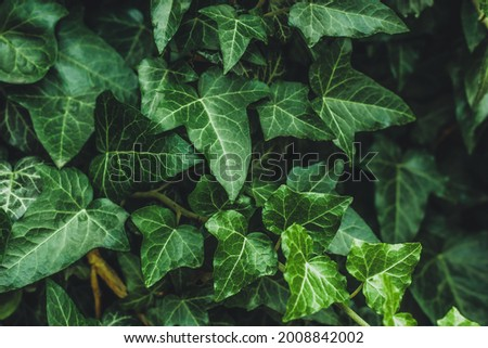 Hedera helix, common ivy. Evergreen vine, climbing flowering wild plant of the ivy genus in the family Araliaceae. Close up of dark leaves in garden, nature background, green natural wallpaper. Royalty-Free Stock Photo #2008842002