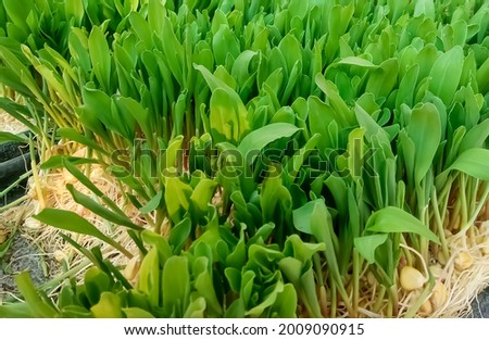 green corn fodder,organic hydroponic fodder grown without soil. fodder is used to feed domesticated livestock, such as cow,goat etc Royalty-Free Stock Photo #2009090915