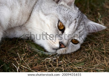 adult gray Scottish breed cat lies on a grass, the animal is resting. High quality photo Royalty-Free Stock Photo #2009431655