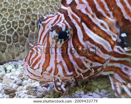 Closeup picture on the head of lionfish with coral as background. Marine fish.