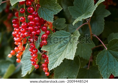 Macro shot of ripening red currant berries. High quality photo Royalty-Free Stock Photo #2009448524