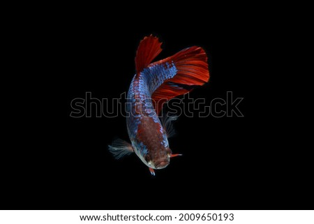 A female pla kad betta fish with spiderman like color is swimming in the tank. It has red and purple color .