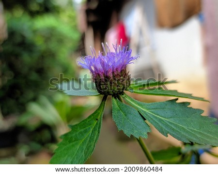 Brazzilian Button Flower or Centratherum punctatum originating from Brazil is a very beautiful flowering plant. Non-woody herbal plants with a plant height of about 30 -50 cm. Royalty-Free Stock Photo #2009860484