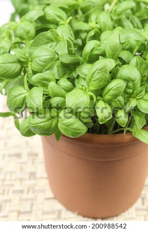 a plant of basil on a white background #200988542