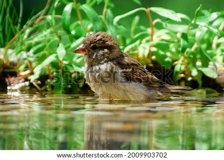 Juvenile tree sparrow (Passer montanus) indulge in water bird waterhole. Moravia. Europe. Royalty-Free Stock Photo #2009903702