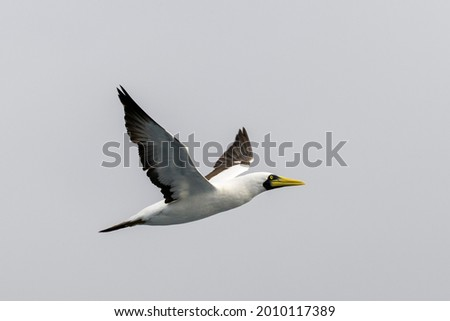 Flying gannet - large seabird with mainly white plumage Royalty-Free Stock Photo #2010117389