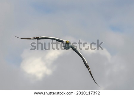 Flying gannet - large seabird with mainly white plumage Royalty-Free Stock Photo #2010117392