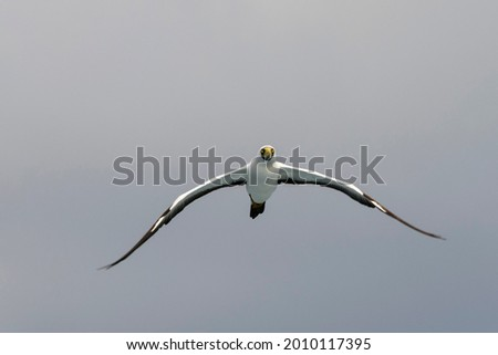 Flying gannet - large seabird with mainly white plumage Royalty-Free Stock Photo #2010117395