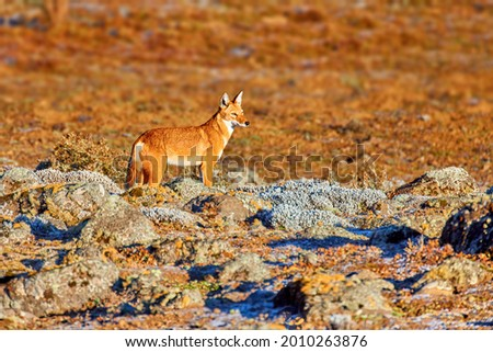 Orange and white colored, highly endangered beast, Ethiopian wolf, Canis simensis, on the hunt. Hoarfrost, Sanetti plateau environment, Bale Mountains National Park, Ethiopia, roof of Africa. Royalty-Free Stock Photo #2010263876