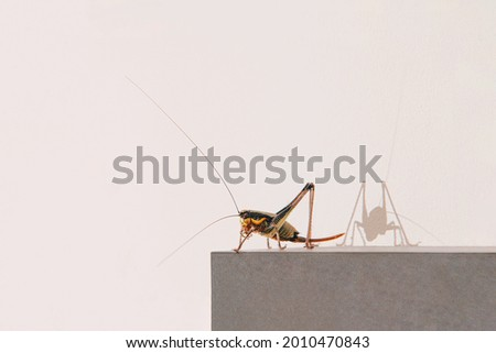Home cricket insect on a picture frame against wall. Close up. Rectangle with copy space.