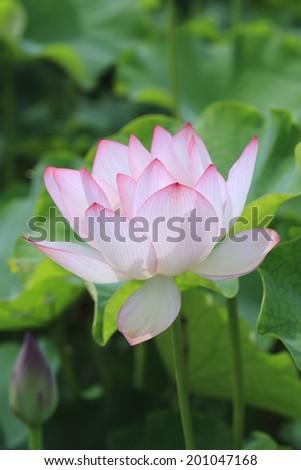 An Image of Lotus #201047168