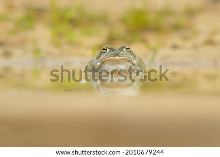 The Colorado River toad (Incilius alvarius), also known as the Sonoran Desert toad, is found in northern Mexico and the southwestern United States.
