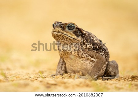 The cane toad (Rhinella marina), also known as the giant neotropical toad or marine toad, is a large, terrestrial true toad native to South and mainland Central America
