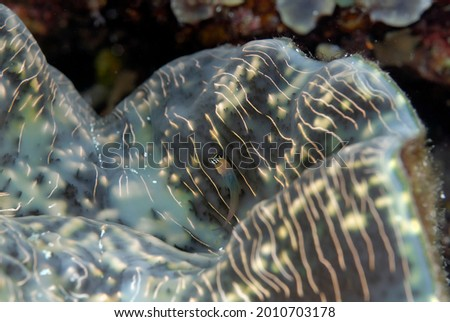 A picture of a detail of a beautiful tridacna