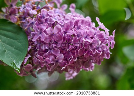 beautiful lilac flowers branch on a green background, natural spring background, soft selective focus. High quality photo Royalty-Free Stock Photo #2010738881