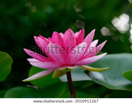 That's a beautiful and amazing  image of Lotus flower and Lotus flower plants.