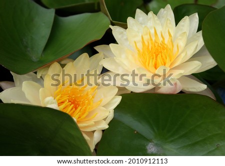 That's a beautiful and amazing waterlily or yellow lotus flower in pond.