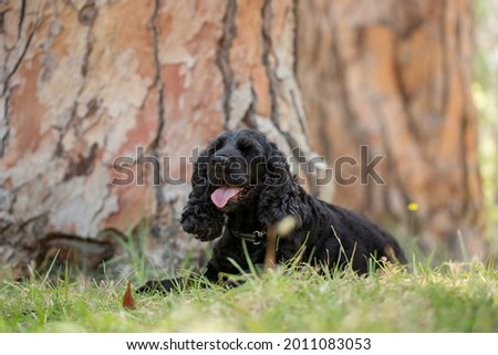 A beautiful black Cocker Spaniel in a forest.  Royalty-Free Stock Photo #2011083053
