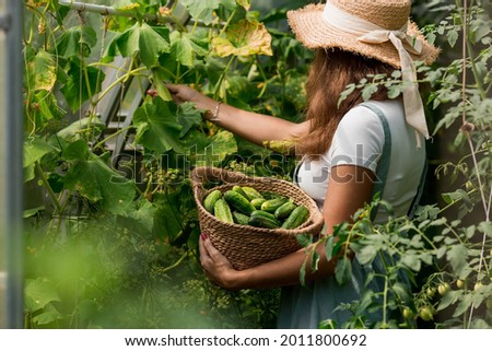 A farmer woman in a cotton apron tears cucumbers in a greenhouse into a wicker basket. The concept of harvesting. Summer and autumn on the farm are filled with organic themes. Close-up. Royalty-Free Stock Photo #2011800692