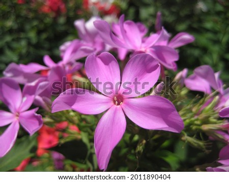 macro photo with a decorative background of beautiful garden flowers of pink phlox for garden landscape design as a source for prints, posters, decor, interiors, wallpaper, advertising, decoration