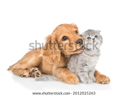 Curious English cocker spaniel puppy dog hugs kitten. Pets look away and up together on empty space. isolated on white background. Royalty-Free Stock Photo #2012025263