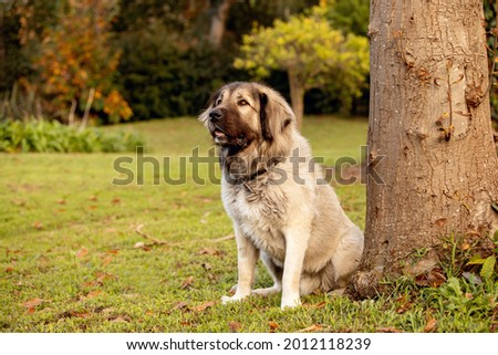 A large fluffy mixed-breed dog in a large garden.  Royalty-Free Stock Photo #2012118239