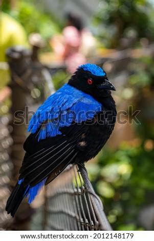 Black and blue asian fairy bluebird bird in a rainforest
