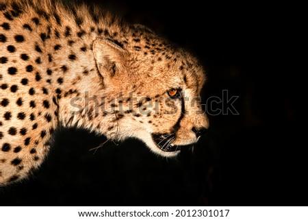 Cheetah portrait with black background