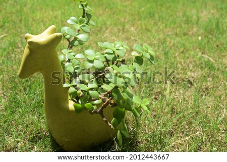 Jade plant a succulent indoor as well as outdoor plant. Also known as Crassula ovata planted in designer cramic planter in giraffe shaped pot. Royalty-Free Stock Photo #2012443667