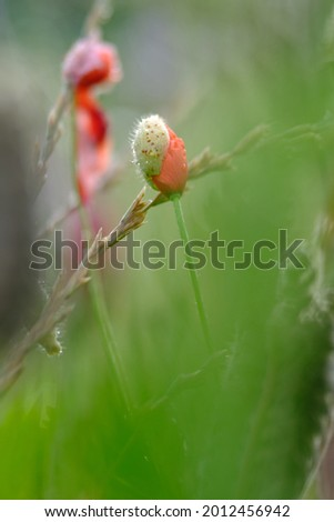 A very young poppy in a field with a super blurry leaf in the foreground and some more poppies in the background.