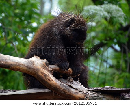 North American porcupine (Erethizon dorsatum), also known as the Canadian porcupine, is a large quill-covered rodent in the New World porcupine family.