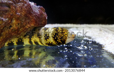 View of Snowflake Eel, also known as the Snowflake Moray Eel, Clouded Moray, or Starry Moray, is one of the most beautiful morays, and inhabits caves and crevices throughout the Indo-Pacific reefs