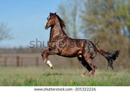 English thoroughbred horse jumping on the beautiful background of the field.