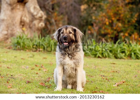 A large fluffy mixed-breed dog in a large garden.  Royalty-Free Stock Photo #2013230162