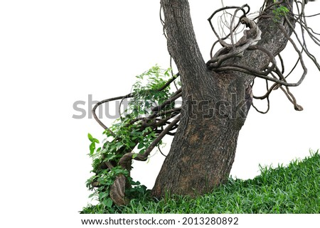 Old jungle tree trunk with climbing vines twisted liana plant and green leaves creeper flowering plant growing on green grass lawn hill isolated on white background, clipping path included. Royalty-Free Stock Photo #2013280892