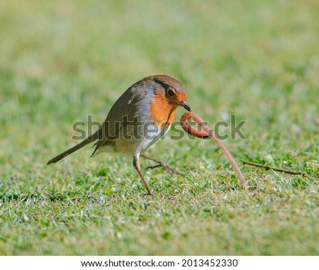 Robin struggles with large worm early morning on the lawn