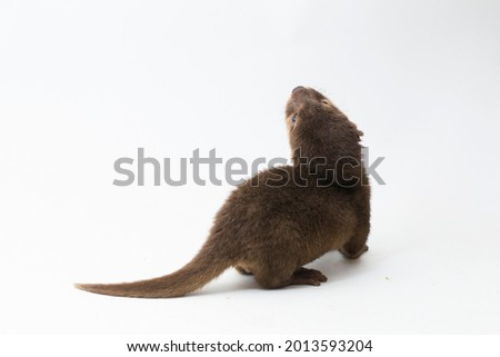 Asian small-clawed otter, also known as the oriental small-clawed otter or simply small-clawed otter isolated white background  Royalty-Free Stock Photo #2013593204