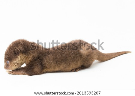 Asian small-clawed otter, also known as the oriental small-clawed otter or simply small-clawed otter isolated white background  Royalty-Free Stock Photo #2013593207