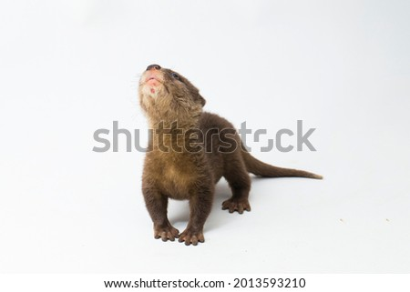 Asian small-clawed otter, also known as the oriental small-clawed otter or simply small-clawed otter isolated white background  Royalty-Free Stock Photo #2013593210