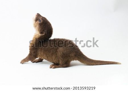 Asian small-clawed otter, also known as the oriental small-clawed otter or simply small-clawed otter isolated white background  Royalty-Free Stock Photo #2013593219