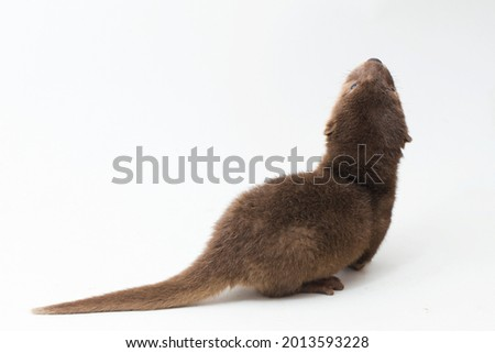 Asian small-clawed otter, also known as the oriental small-clawed otter or simply small-clawed otter isolated white background  Royalty-Free Stock Photo #2013593228