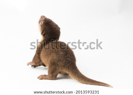 Asian small-clawed otter, also known as the oriental small-clawed otter or simply small-clawed otter isolated white background  Royalty-Free Stock Photo #2013593231