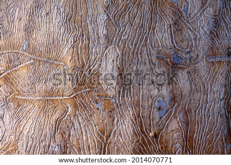 the traces of the bug beetle-typographer. Close-up of tree is eaten by bark beetles. The imprint of the bark beetle under the bark of the tree. Royalty-Free Stock Photo #2014070771