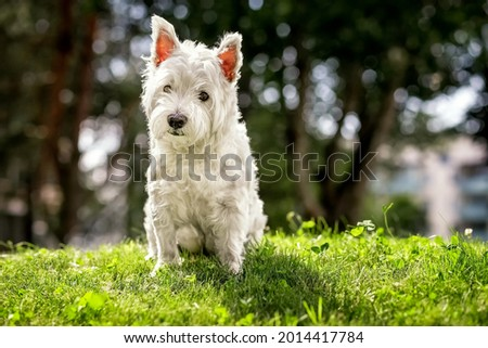 West highland white terrier. White dog for a walk. Summer. Close-up. High quality photo