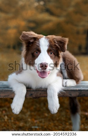 Adorable Border collie puppy sitting on the ground. Four months old cute fluffy puppy in the park. Royalty-Free Stock Photo #2014592336