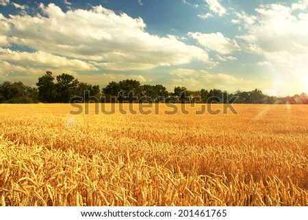 wheat field sunset #201461765