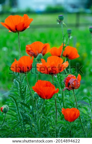 Blooming orange flower of oriental poppy on a green background macro photography on a summer day. Large papaver orientale with red petals close-up photo in summertime. Royalty-Free Stock Photo #2014894622